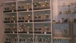 24 goz kanarya ve muhabbet salması