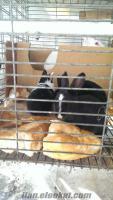 satılık yeni zellanda ve lop tavşanı