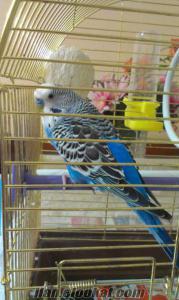 Konuşan Muhabbet Kuşu Maviş