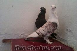 izmirden satılık güvercinler