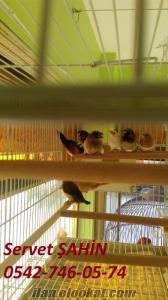 6 aylık bengal ispinoz yavruları