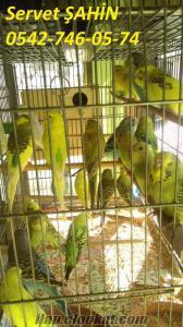 çekoslavak ve yerli yavru muhabbet kuşları toplu ve tek alım satışı yapılır
