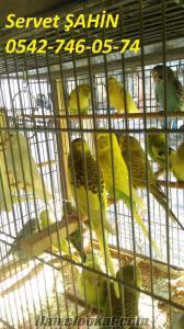 yavru çekoslavak ve yerli muhabbet kuşları