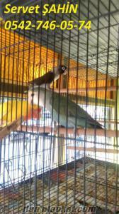 mutasyon sevda ve cennet papağanları