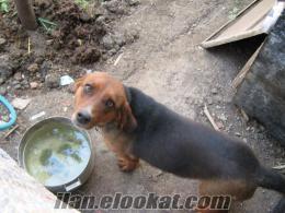 bursada sahibinden satılık av köpekleri