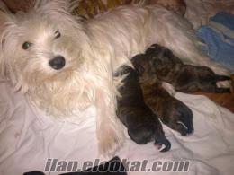 Sahibinden satılık FOURCHE Terrier yavruları