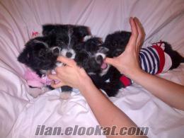 Sahibinden anne altından yorkshire terrier yavruları