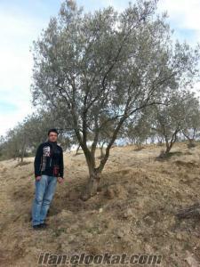 yalovada sahibinden satılık zeytin ağacı ( )