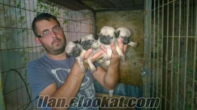 satilik pug yavrulari