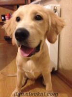 6 aylık golden