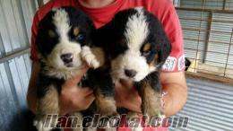 Safkan BERNESE MOUNTAİN DOG ( İsviçre Dağ Köpeği ) yavruları