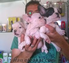 üretim çiftliginden french bulldog yavruları