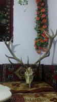 satılık geyik boynuzu