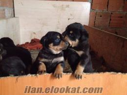 istanbul b çekmecede sahibinden satılık 2 adet dişi rottweiler