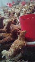 tavuk civciv yarka hindi ördek satışı ...