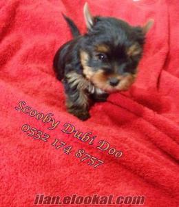 yorkshire terrier satılık yavrular