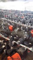 Civciv ördek hindi çeşitleri günlük 15 günlük ve Yarka mevcuttur.