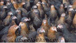 Tüm Civciv ördek hindi çeşitleri günlük 15 günlük ve Yarka mevcuttur.