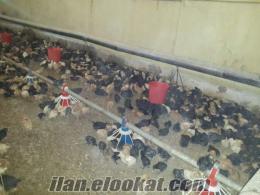 satılık kümes hayvanları