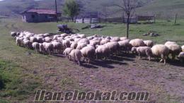 Ankara Gölbaşı satılık koyun