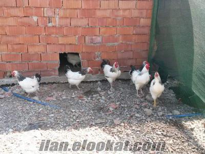 kocaeli izmit kullar beldesinde satılık horoz tavuk civciv yumurta