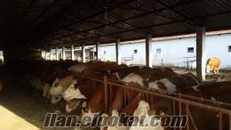satılık simental inekler mevcuttur