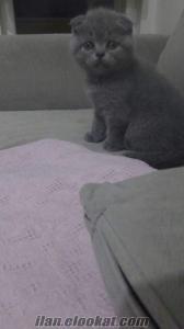 scottish fold ev kedisi yavrular anne altından