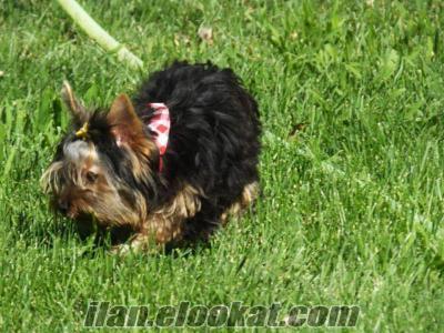 yorkshire terrier harikaaa satılık yavrularrrr