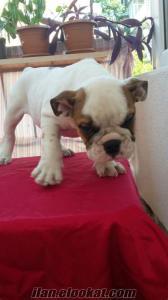 Bursada ingiliz bulldog