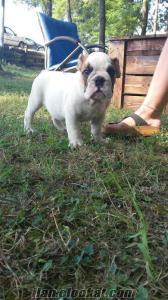 İngiliz Bulldog satılık bebekler