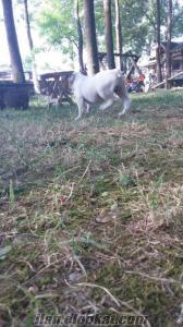 İngiliz Bulldog satılık Bursada