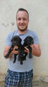 satılık cane corsa yavruları