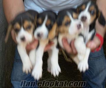 Beagle yavruları satılık