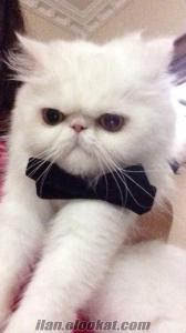 Beyaz dişi iran kedim