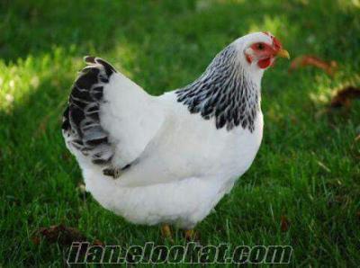Civciv tavuk ve kuluçkalık yumurta çeşitleri