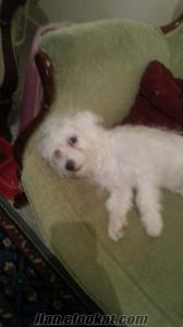 kaniş 4, 5 aylık kaniş köpek