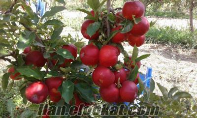 Satılık 5 ton elma(Gala)