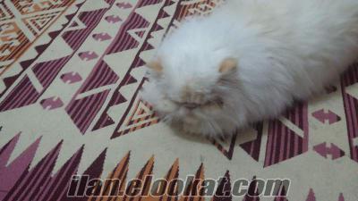 Iran cinsi kedime erkek es ariyorum