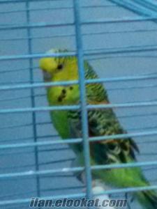 Pendik Esenyalı da sahibinden satılık jumbo muhabbet kuşları
