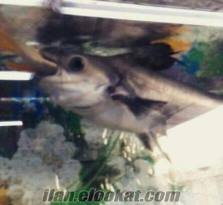 akvaryum köpek balıkları