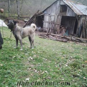 Satılık 8 aylık erkek kangal çoban köpeği