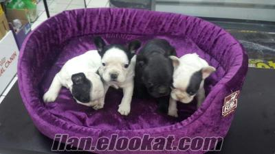Maskeli French Bulldog Yavrular