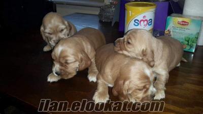 kukır cinsi yavru köpekler