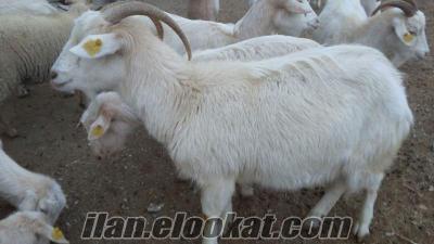 Toptan satılık saanen süt keçisi ve çebişi