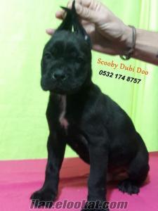 cane corso satılık yavru köpekler