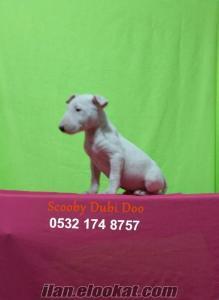 satılık bull terrier yavruları