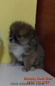 satılık spitz köpeği