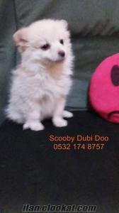 spitz satılık yavru köpekler