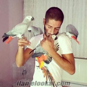 evcil konuşan jako papağan
