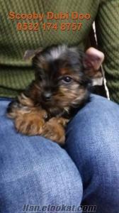 yorkshire terrier satılık yavru